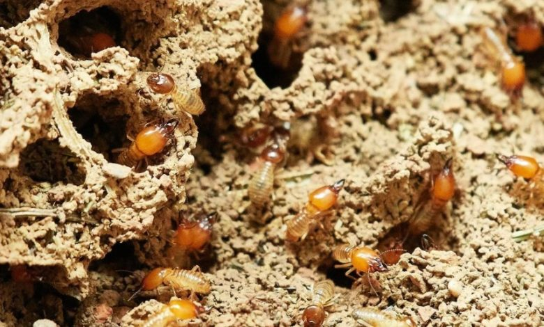 Photo of Tell-Tale Signs of Termites